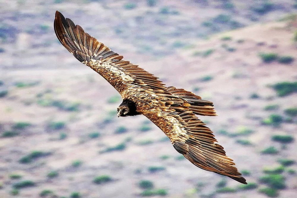 The Bearded Vulture Bone Crusher