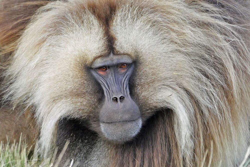 The Gelada Baboon Simien Mountains