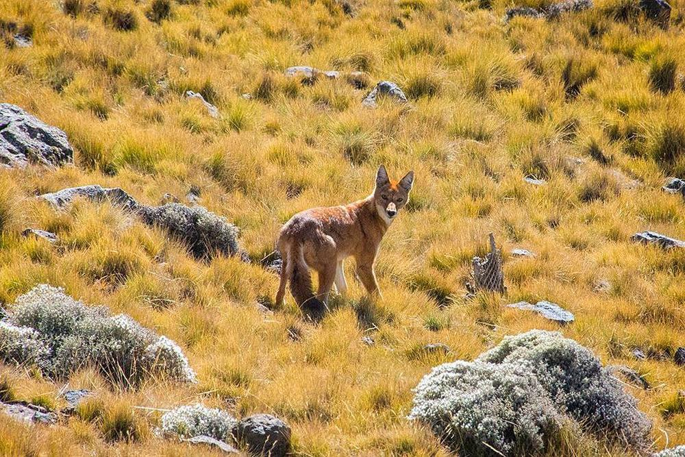 The Ethiopian Wolf, the only wolf species known to inhabit Africa